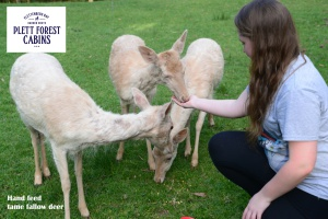 Hand feed tame fallow deer Plett Forest Cabins